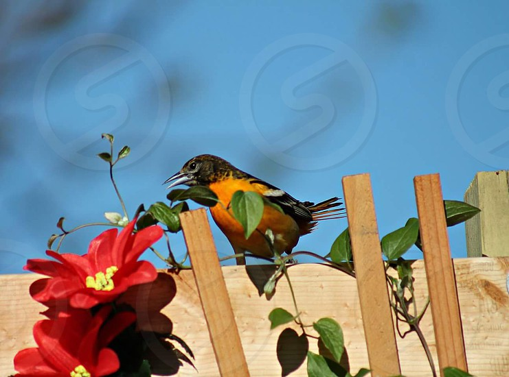 #Birds #Oreol # Baltimor oreol #Orange #Sommer photo