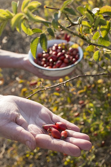 Woman is picking rosehip. photo