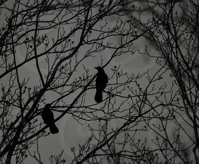 Spooky creepy night Halloween crows ravens trees photo