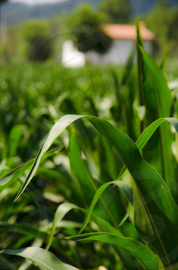 green cast iron plant photo