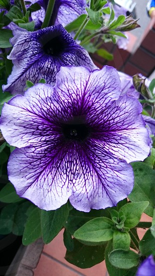 purple-and-white petunia flowers closeup photography photo