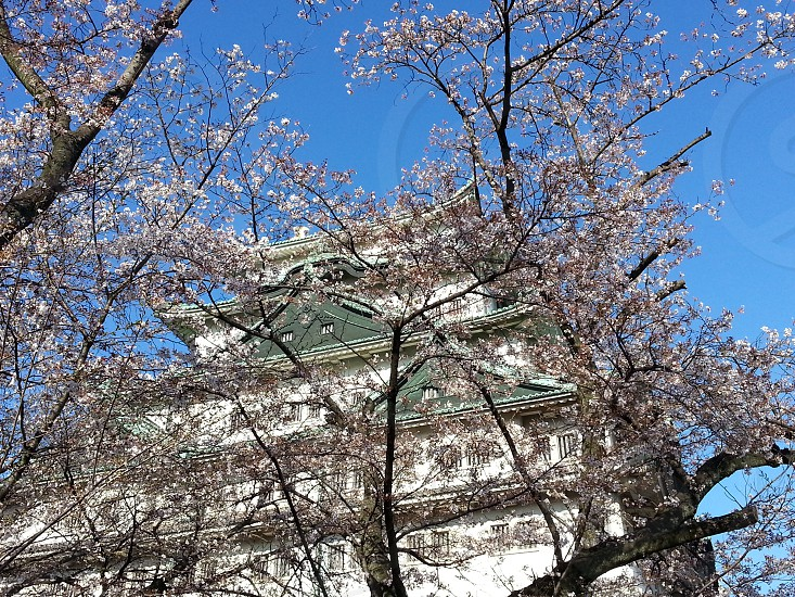 Nagoya Castle behind cherry blossoms photo