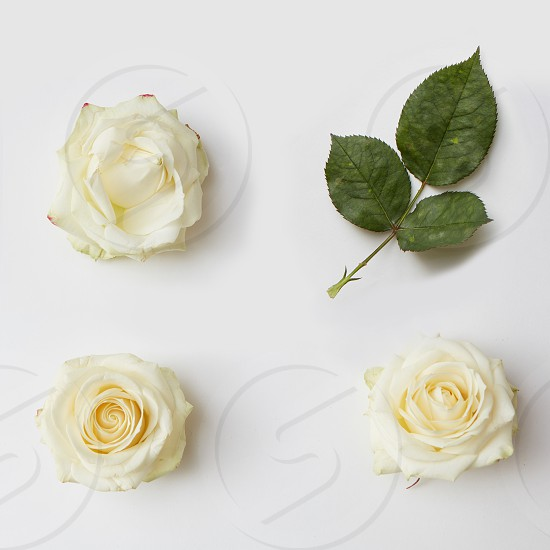 Three white roses and green leaves represented over white background. Decoration may be used as post card in Valentine's Day. photo