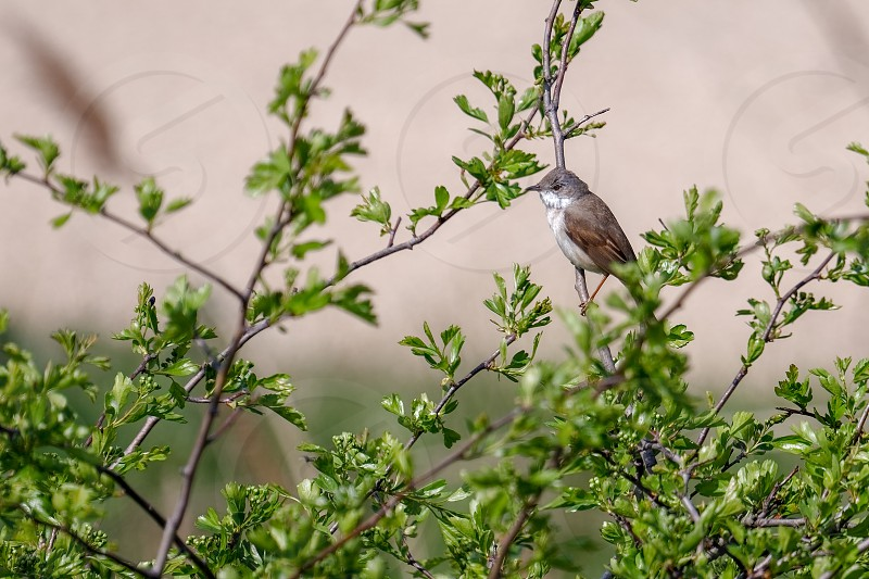 Lesser Whitethroat (Sylvia curruca)  perched in an Hawthorn tree photo