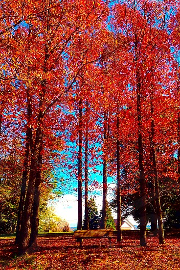 trees with red leaves photo