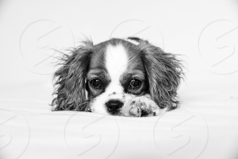 Cavalier King Charles Puppy black and white photo