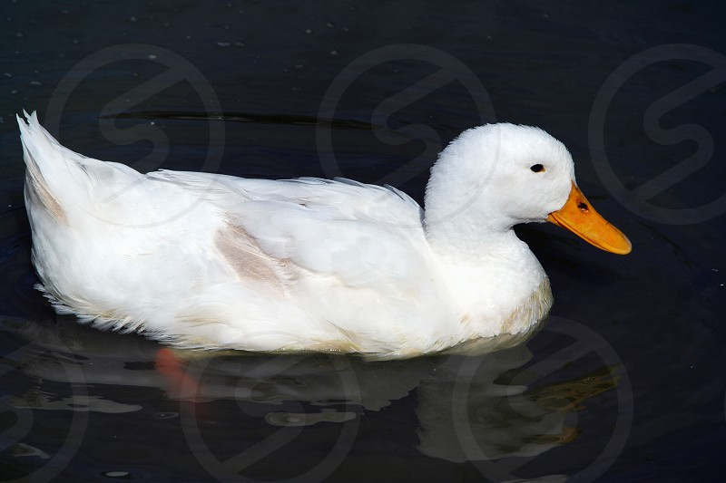 white feathered duck with brown beak on water photo