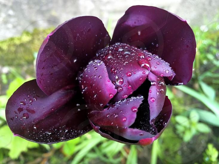 Flower - Tulip - The color purple photo