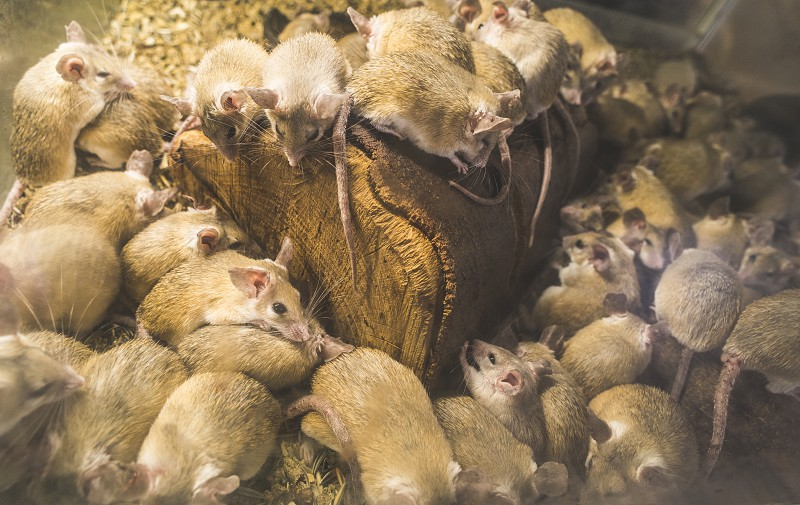 Rats on wood in cell. Many rats photo