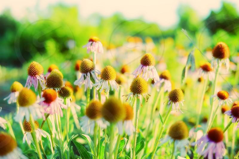 Echinacea Organic Ojai California photo