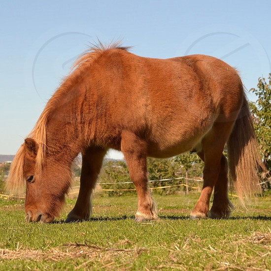 shetland pony brown photo