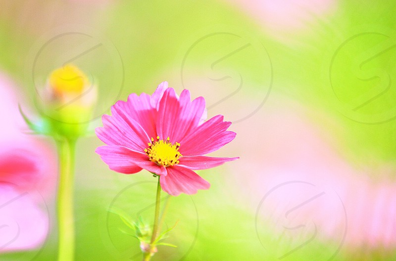 PHOTO CHALLENGE 'The 'Color Green' (7) Pink Cosmos photo