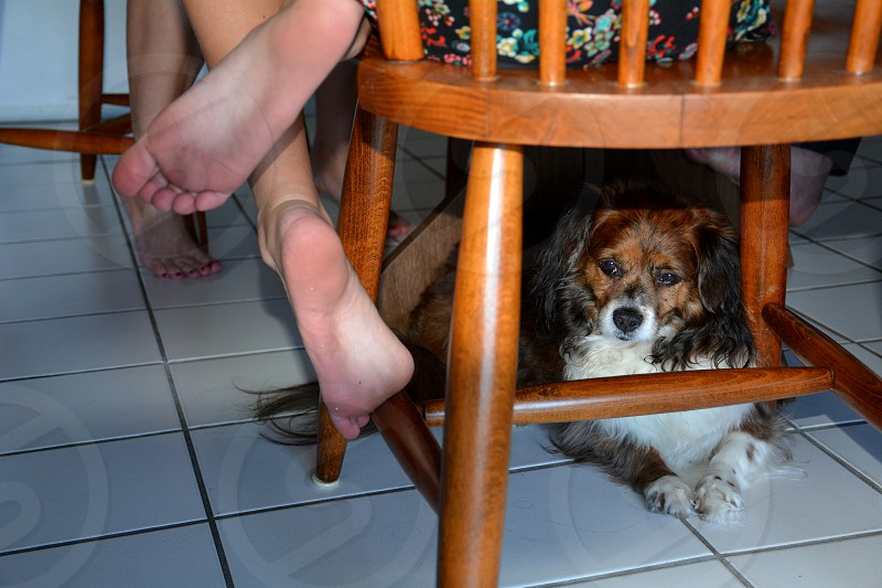 A girl's best friend her dog waiting under her chair st the kitchen table. photo