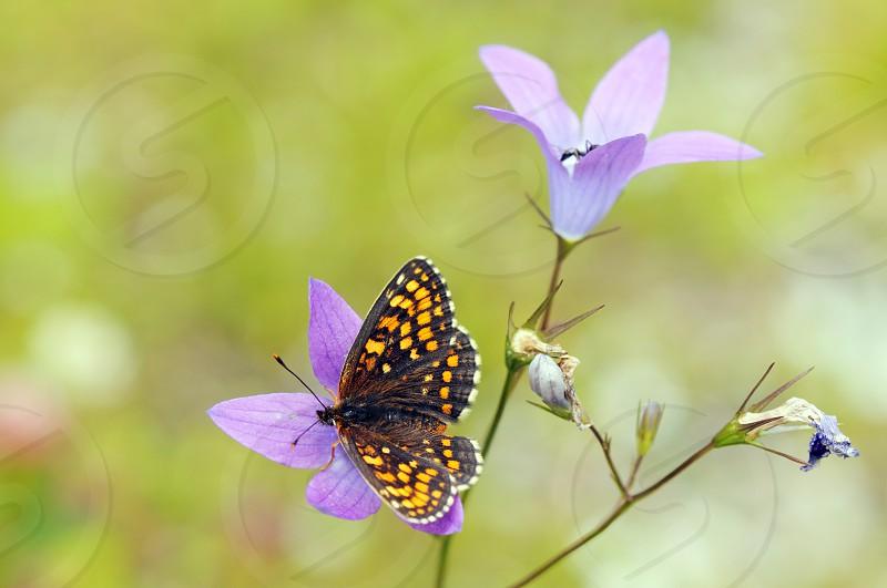 False Heath Fritillary butterfly (Melitaea diamina) on a blue purple Campanula patula  photo