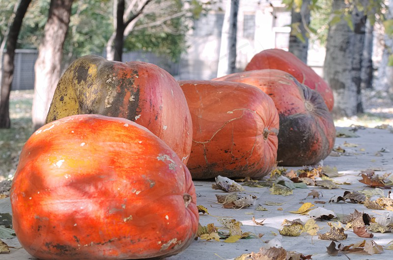 Giant Orange Pumpkins Under Trees with Fallen Leaves photo