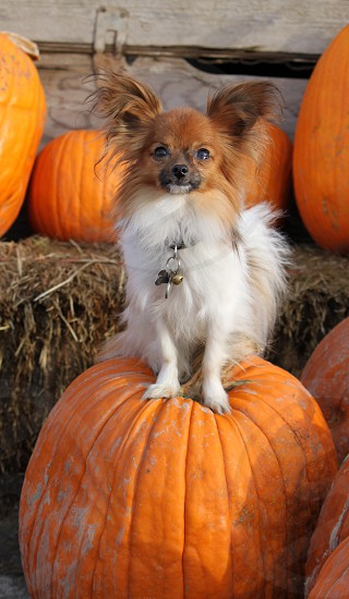 brown and white small breed dog sitting on orange pumpkin photo