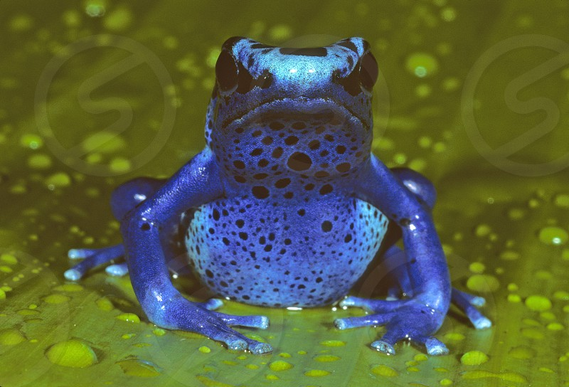 """Frogettaboutit""  The blue poison frog (Dendrobates azureus) from Suriname is among the most dazzlingly-colored of the poison dart frogs of the Amazon rain forest. photo"