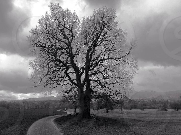 Lonely oak in winter landscape photo