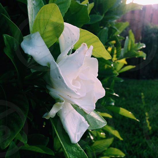 Gardenia bush and bloom photo
