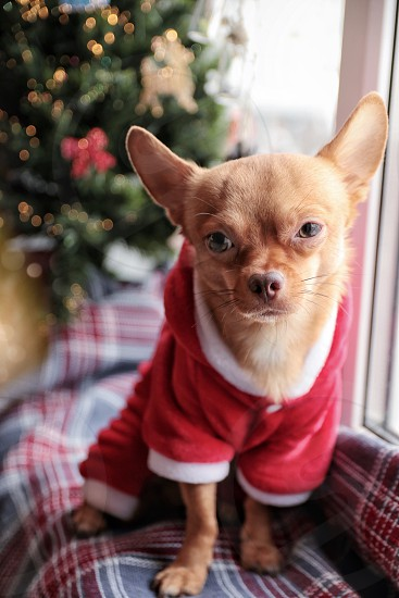 chihuahua dog  santa Christmas tree photo