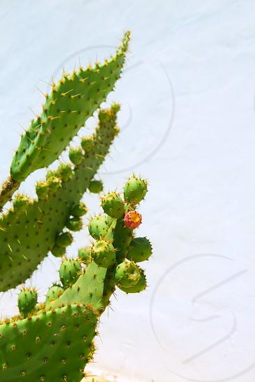 chumbera nopal prickly pear fruits plant photo