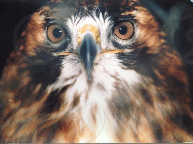 Close up red tail hawk photo