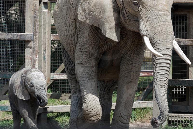 African Elephant (Loxodonta) photo