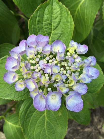 Surest sign of spring.  New growth on a flowering hydrangea.  Pale purples and pinks with bright green backgrounds.  Screams Easter! photo