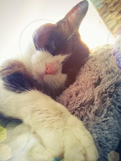 Adorable affectionate Snowshoe cat photo