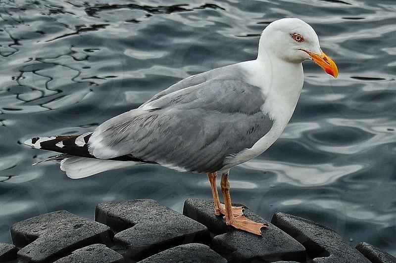 white and gray bird with yellow beak standing on black rubber near water photo