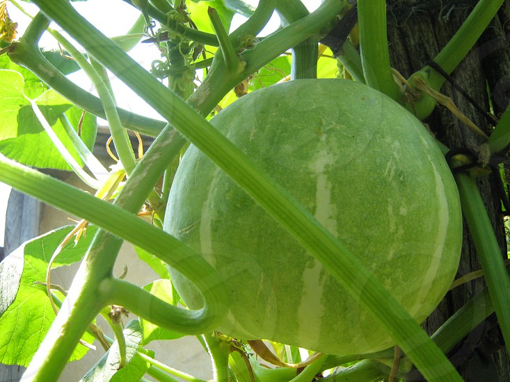green squash photo