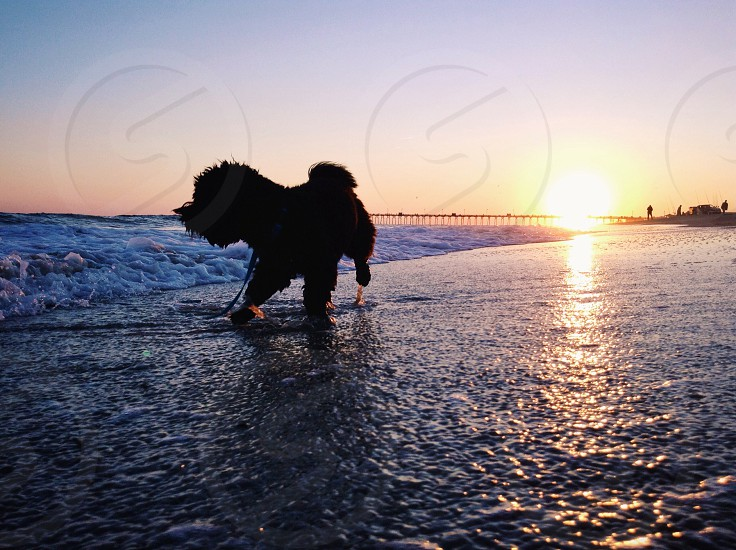 black dog walking beside the shore photo