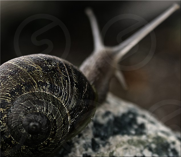 Macro of a snail whose head and antenae are blurred in the background. photo