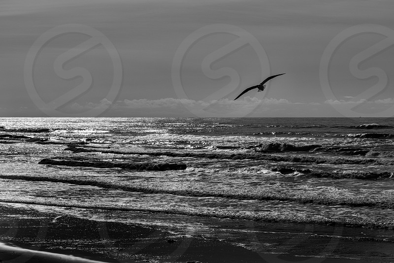 Seagull hunting for food photo