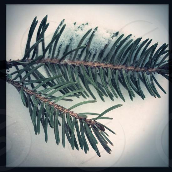 Evergreen branch photo