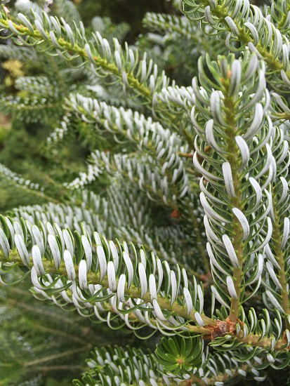 Closeup pine texture white green spike curved needle tree conifer photo