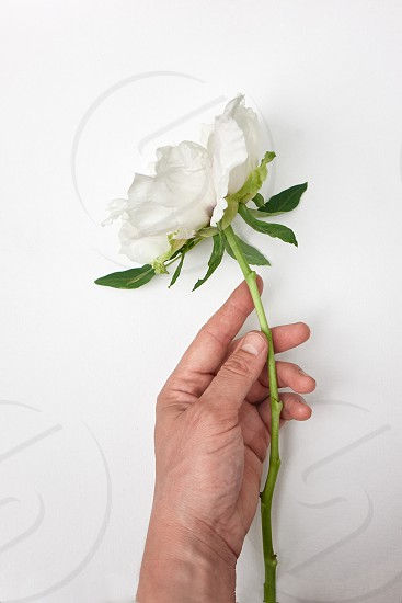 Man touches flowering Peony bud with hand on white background. Spring weather photo