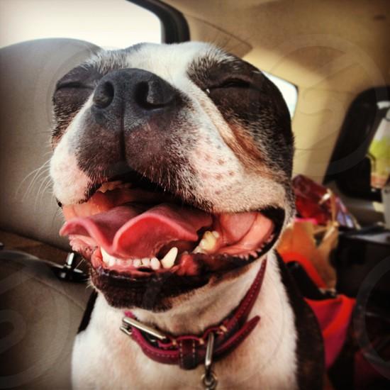 Boston Terrier Dog smile Happy Hot. photo
