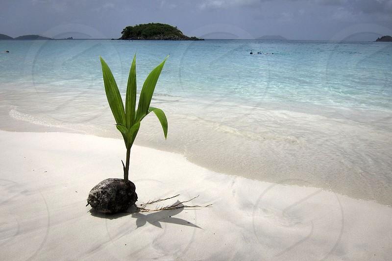 Coconut palm on the beach photo