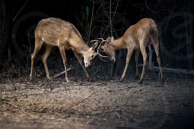 two deers fighting in the forest photo