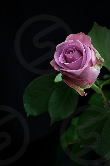 Rose flower pink stem petal black dark background green leaf single love valentine focus detail close photo
