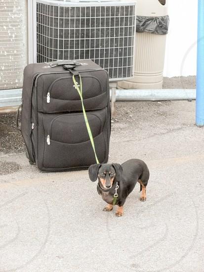 Traveling Black and Tan weenie dog photo