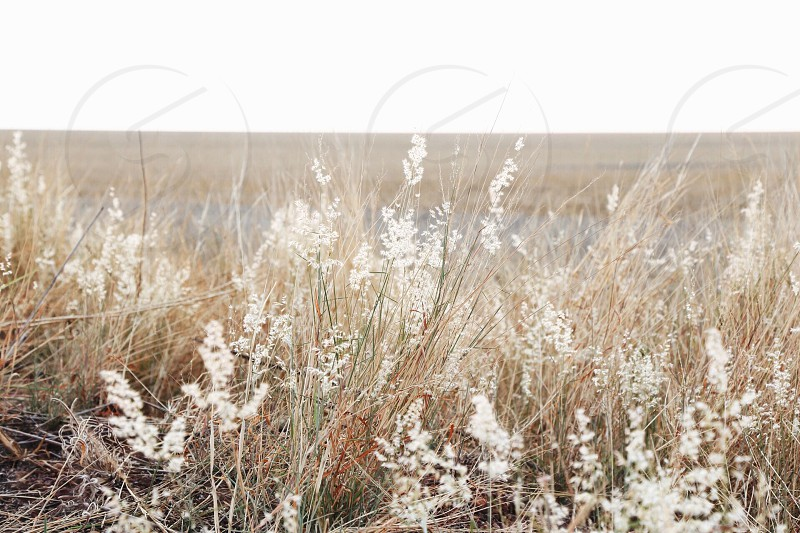 white flower fields and clear skies photo