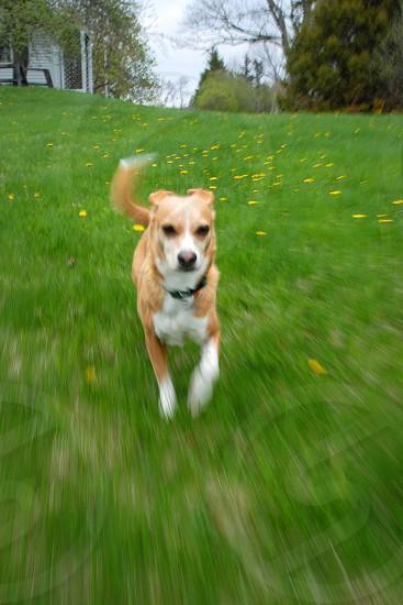 dog green lawn grass cute terrier running photo