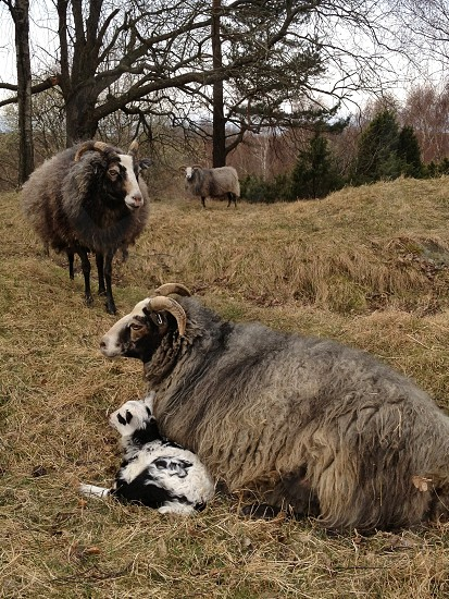 gray goat lying photo