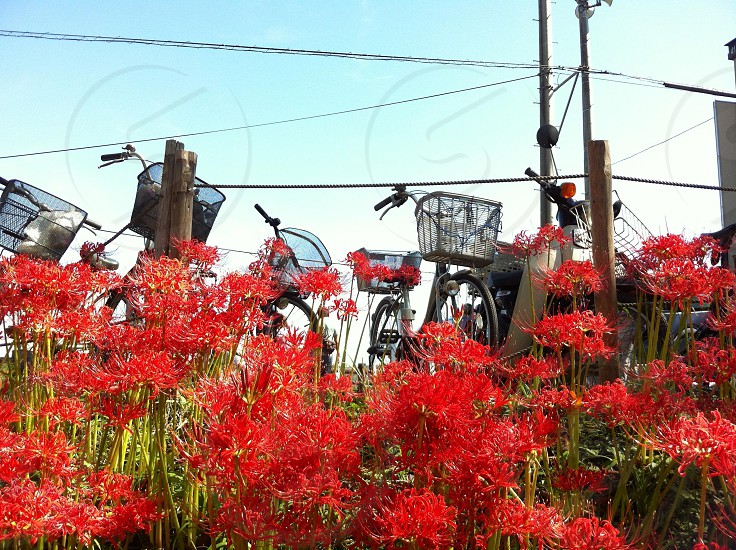 mountain bike with red flowers  photo