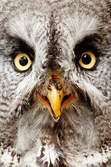 Owl Expression Emotion Eyes photo