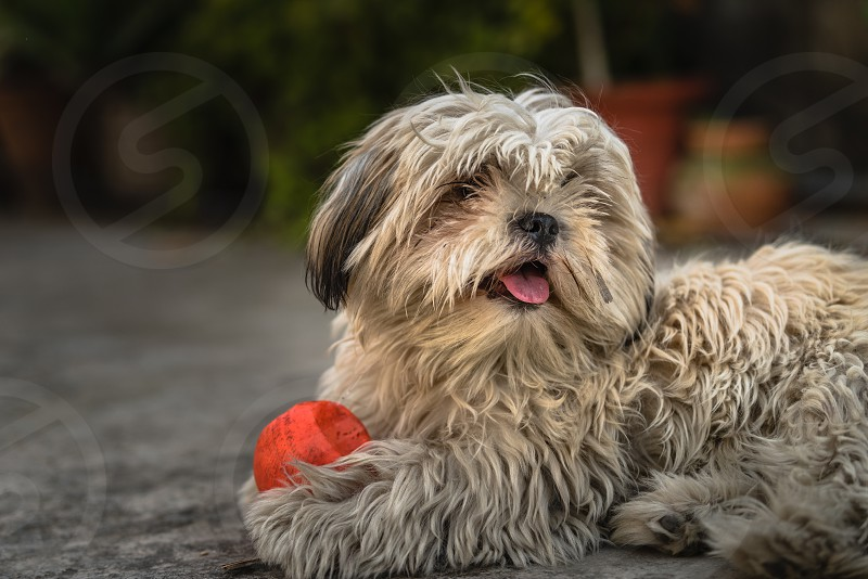 Shih Tzu also known as the Chrysanthemum Dog is a toy dog breed sitting on floor with a playing ball photo