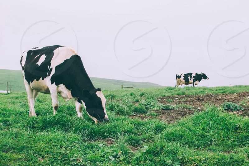 cow eating grass photo