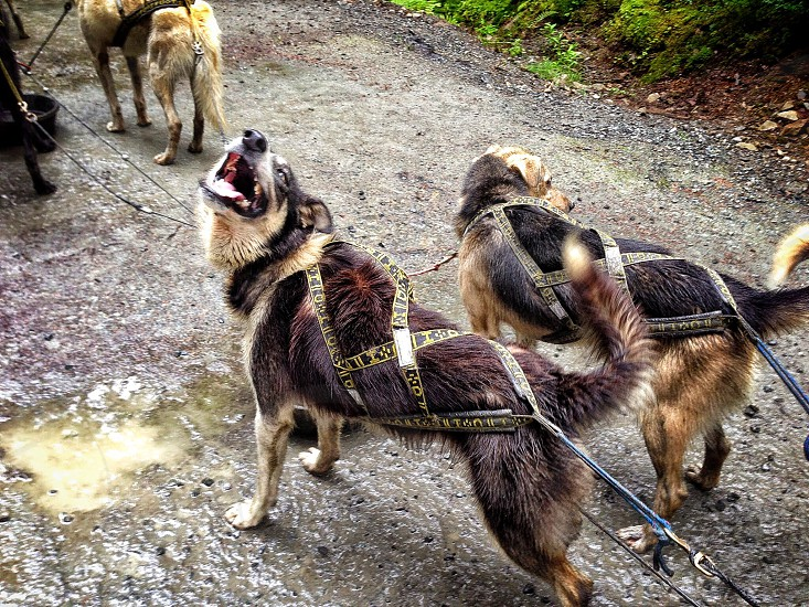black and brown long coated medium size dogs with black and yellow  harnesses photo